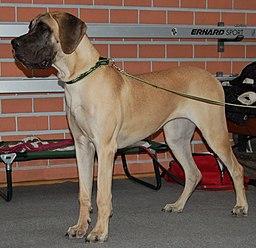 Dog niemiecki żółty LM980