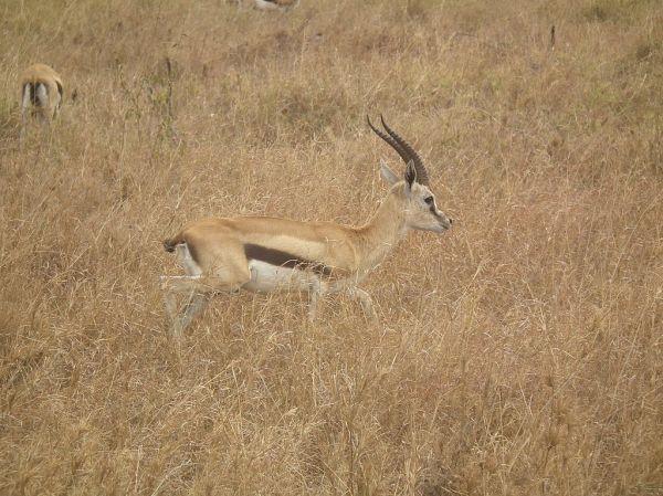 Thomson's Gazelle, Gazella thomsonii, picture taken in ...