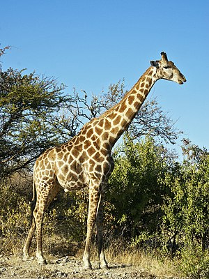 Angolan Giraffe close to Namutoni, Etosha, Nam...