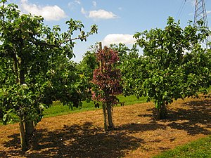 English: Pollinators in Orchard This red apple...