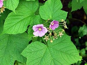 Zimt-Himbeere (Rubus odoratus)