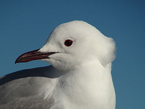 English: A gull photographed on the ferry betw...