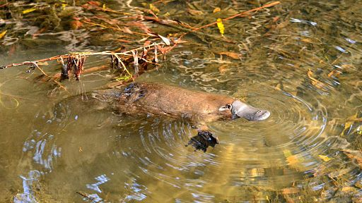 Wild Platypus 4