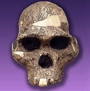 The skull of Australopithecus africanus so-cal...