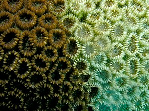 Favia pallida (hard coral) with signs of bleac...