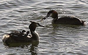 Family of Great Crested Grebes. Two adults and...