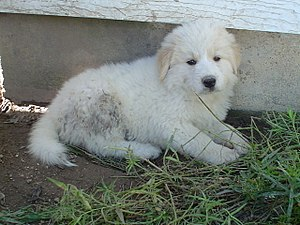 Great Pyrenees (Pyrenean Mountain Dog) puppy
