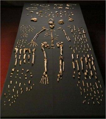 Assemblage d'un fossile d Homo naledi