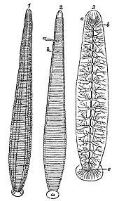 Leech  Wikipedia