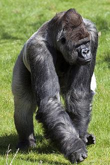 bokito gorilla wikipedia