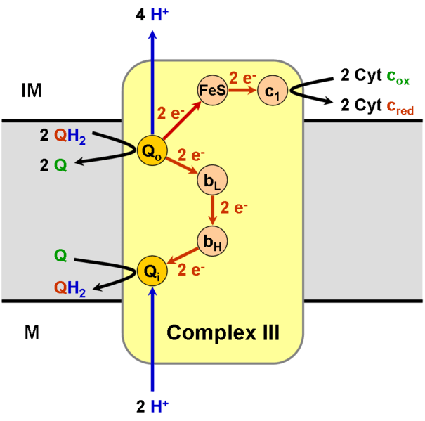 File:Complex III.png