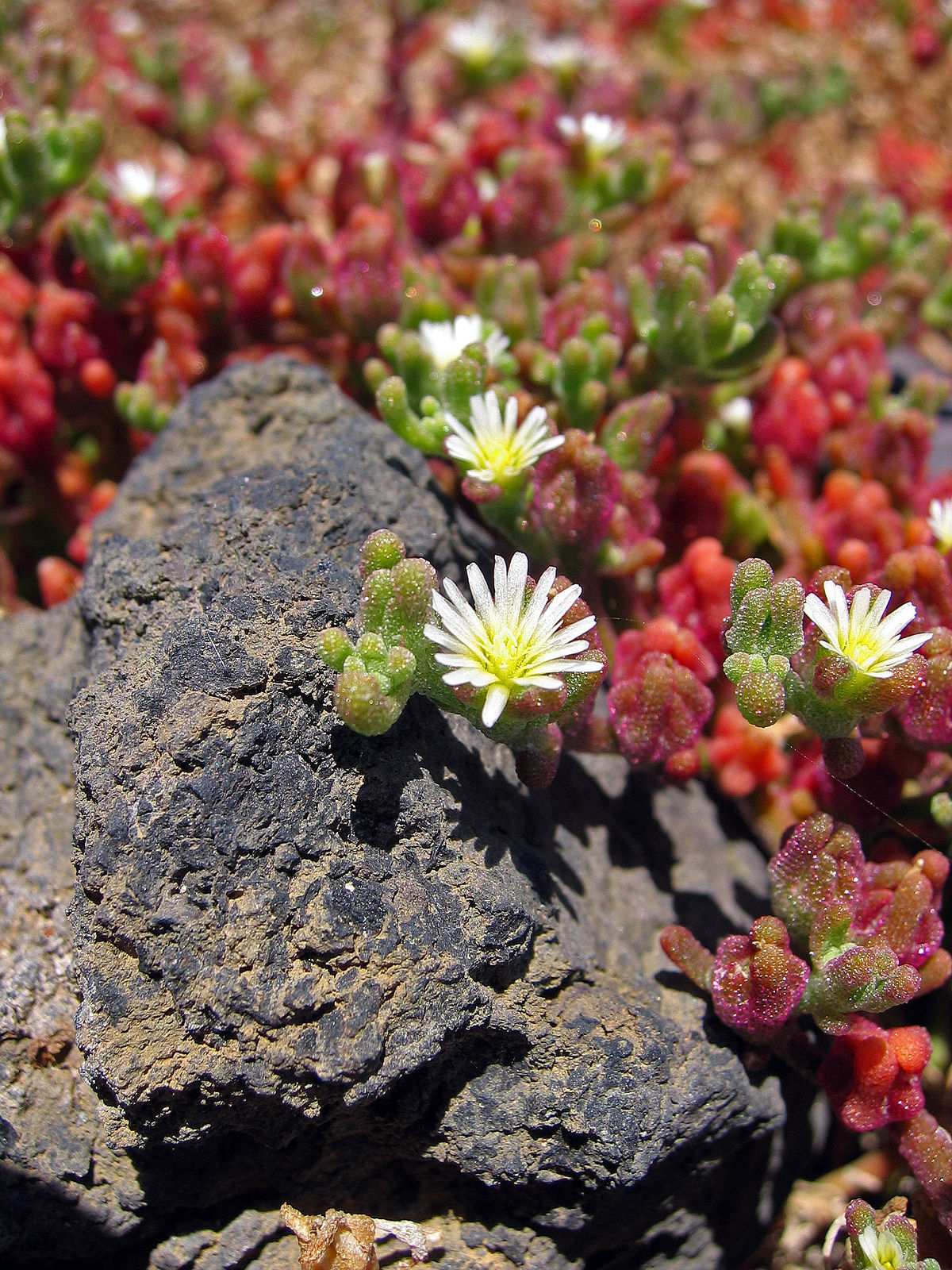 Mesembryanthemum Nodiflorum Wikipedia