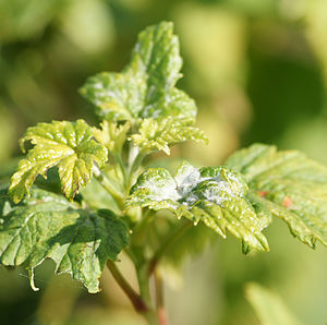 English: Powdery mildew on leaves of a blackcu...
