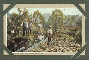 English: Sugar cane harvest at Marburg Sugar M...