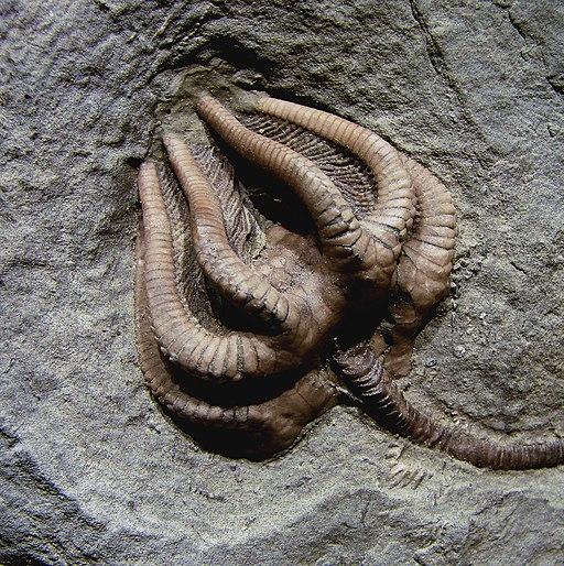 Agaricocrinus americanus Carboniferous Indiana