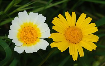 English: Two flowers of the same family: Crown...