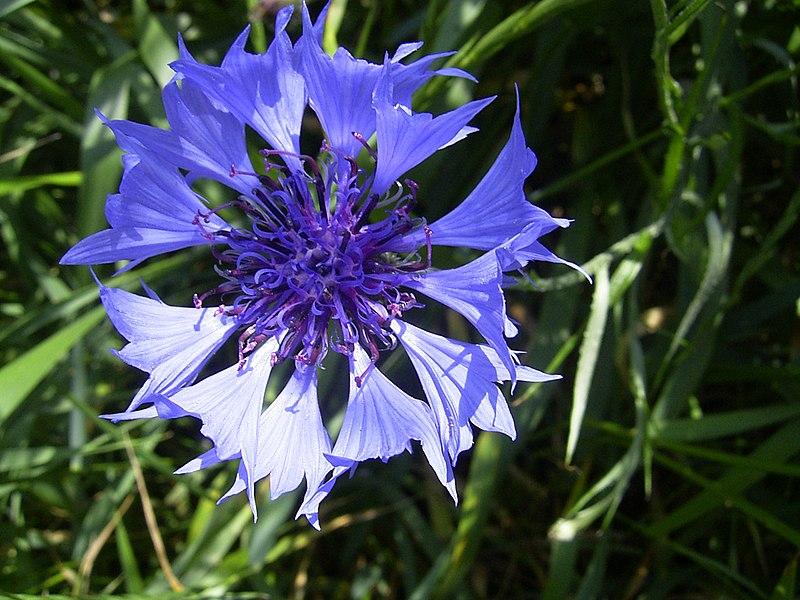 File:CentaureaCyanus-bloem-kl.jpg