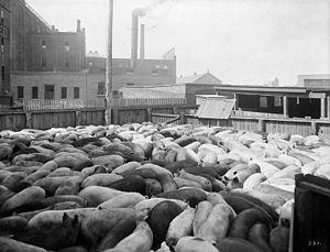 Pen of hogs. The Wm. Davies Co. Toronto, Canada.