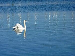 English: Mute Swan, Lymington Mute swan glidin...