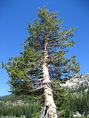 Weathered Pinus contorta subsp. murrayana. Las...