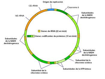 Diagrama simplificado del genoma mitocondrial. Pueden apreciarse los 37 genes y la secuencia origen de replicación no codificante. En este esquema no se señala la cadena ligera y la pesada.