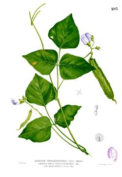 Ilustrasi kecipir dari Blanco