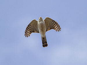 Sharp-shinned Hawk (Accipiter striatus), Michigan