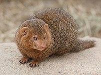 Dwarf mongoose (Helogale parvula) in Korkeasaa...