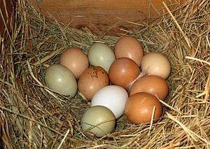 English: eggs
