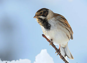 A male Reed Bunting in England.