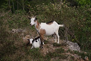 Domesticated goat with two kids near road side...
