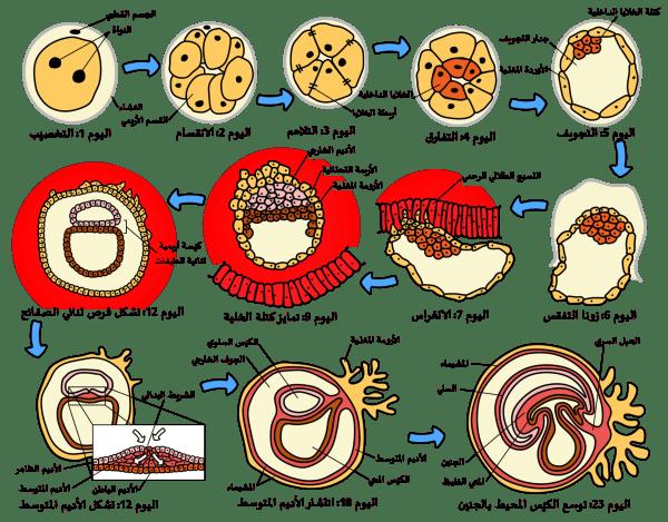 مراحل تطور الجنين البشري - ويكيبيديا، الموسوعة الحرة