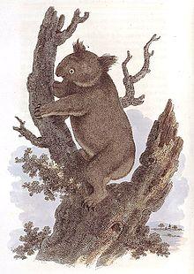 Koala emblems and popular culture Wikipedia