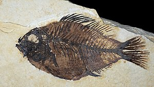 Priscacara liops ::Stage : Eocene from 55,8 ± ...