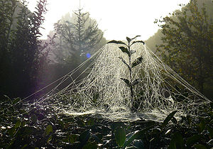 Spider web of sheet weaver spiders, taken some...