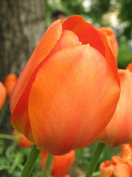 File:Tulip cv. 10.jpg