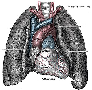 English: Heart and lungs