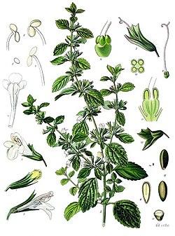 https://i1.wp.com/upload.wikimedia.org/wikipedia/commons/thumb/e/e6/Melissa_officinalis_-_K%C3%B6hler%E2%80%93s_Medizinal-Pflanzen-094.jpg/250px-Melissa_officinalis_-_K%C3%B6hler%E2%80%93s_Medizinal-Pflanzen-094.jpg?w=1415&ssl=1