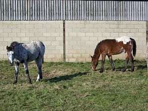 English: Spotted and blanket spotted ponies ne...