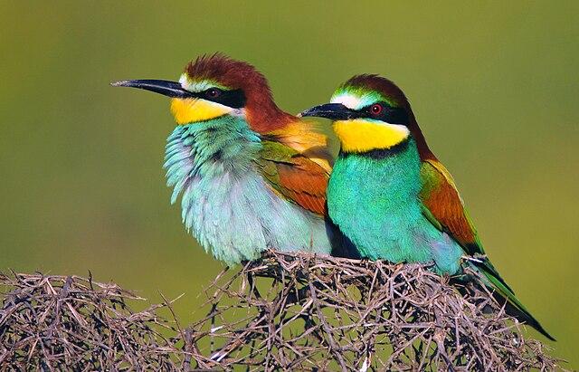 European Bee-eaters, (Merops apiaster), in Amed, Northern Kurdistan, Turkey. By Dûrzan cîrano
