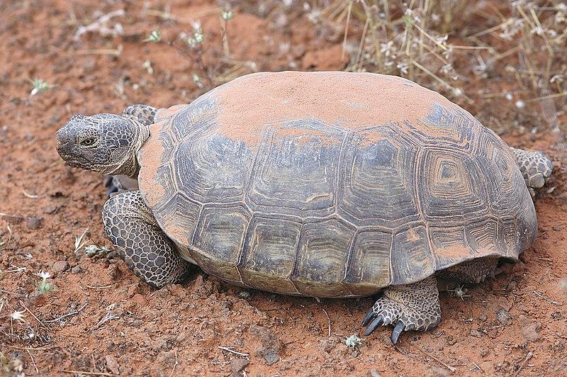File:Desert tortoise.jpg