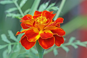 English: French marigold Tagetes patula