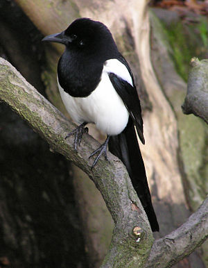 One for Sorrow (nursery rhyme)