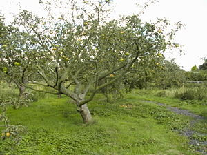 Traditional apple orchard in Eastwood, Essex