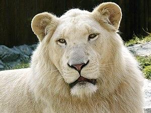 ZOO Bratislava - African Lion (Panthera leo kr...