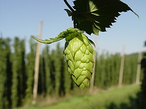 Hop cone in a Hallertau, Germany, hop yard