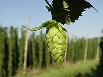 Hop cone in the Hallertau, Germany, hop yard