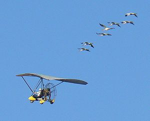 Young Whooping Cranes completing their first m...