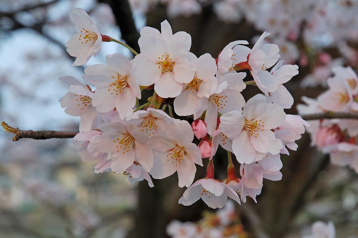 Sakura - Wikipedia