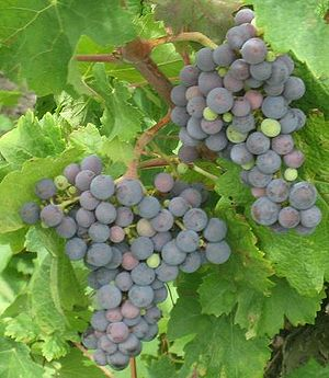 Carménère grapes. Cropped from Image:Blue grap...